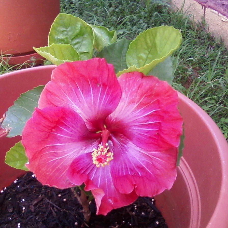 Quebradillas (Puerto Rico) Wikipedia, la enciclopedia libre - Fotos De Flores Tipicas De Puerto Rico