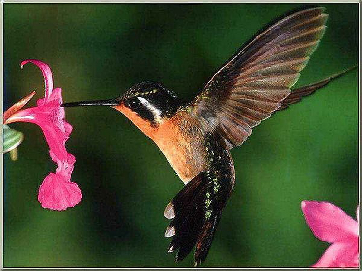Hummingbird | Animal Wildlife