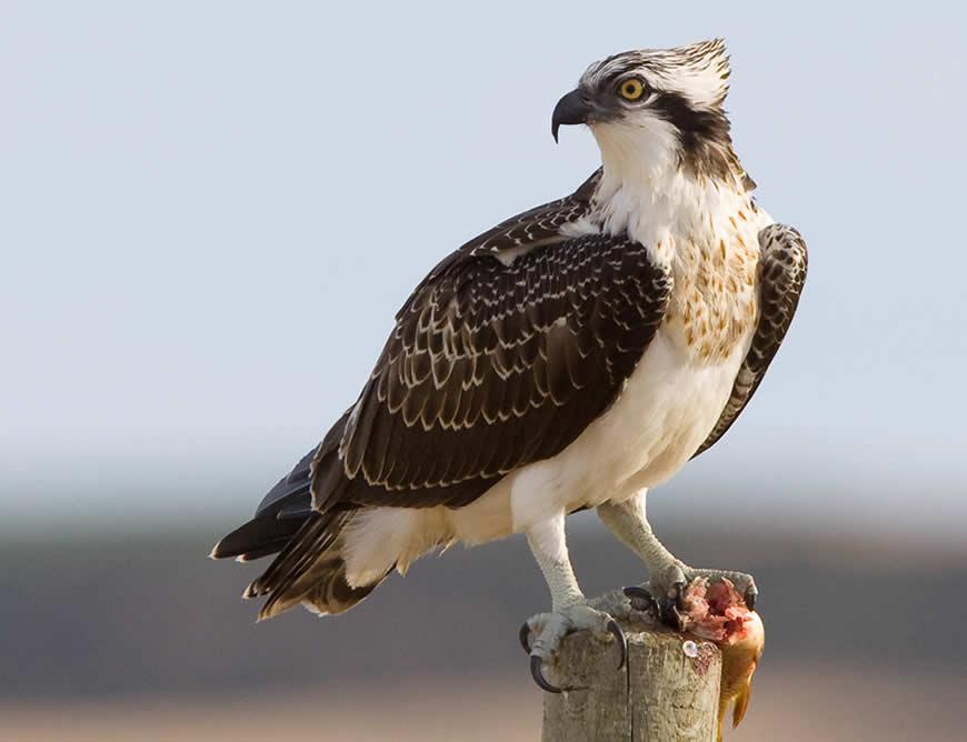 Resultado de imagen para Aguila Pescadora