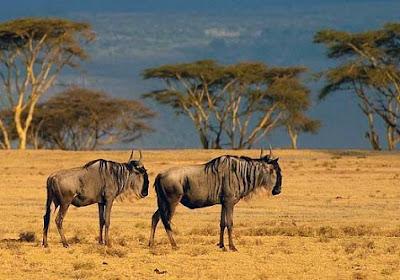 Ñus en la sabana de Kenia