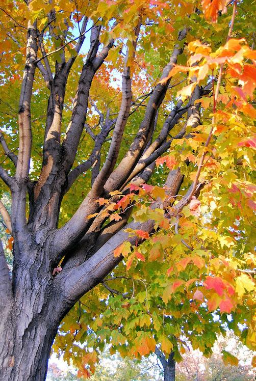 hojas de maple
