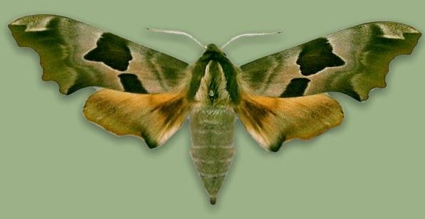 бабочка липовый бражник