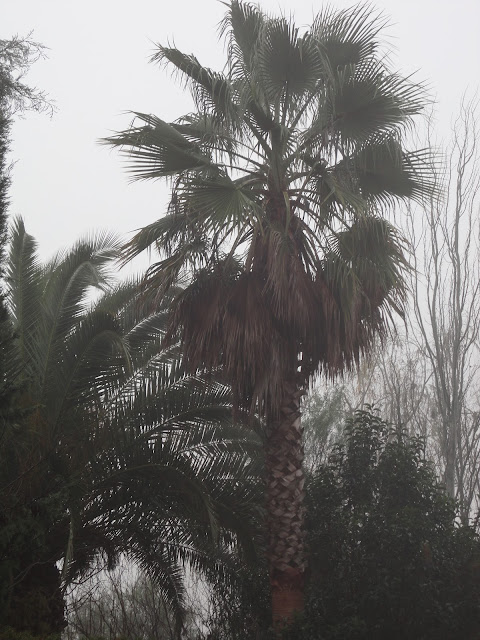 WASHINGTONIA Y PALMERA DATILERA PERDIDOS ENTRE LA NIEBLA