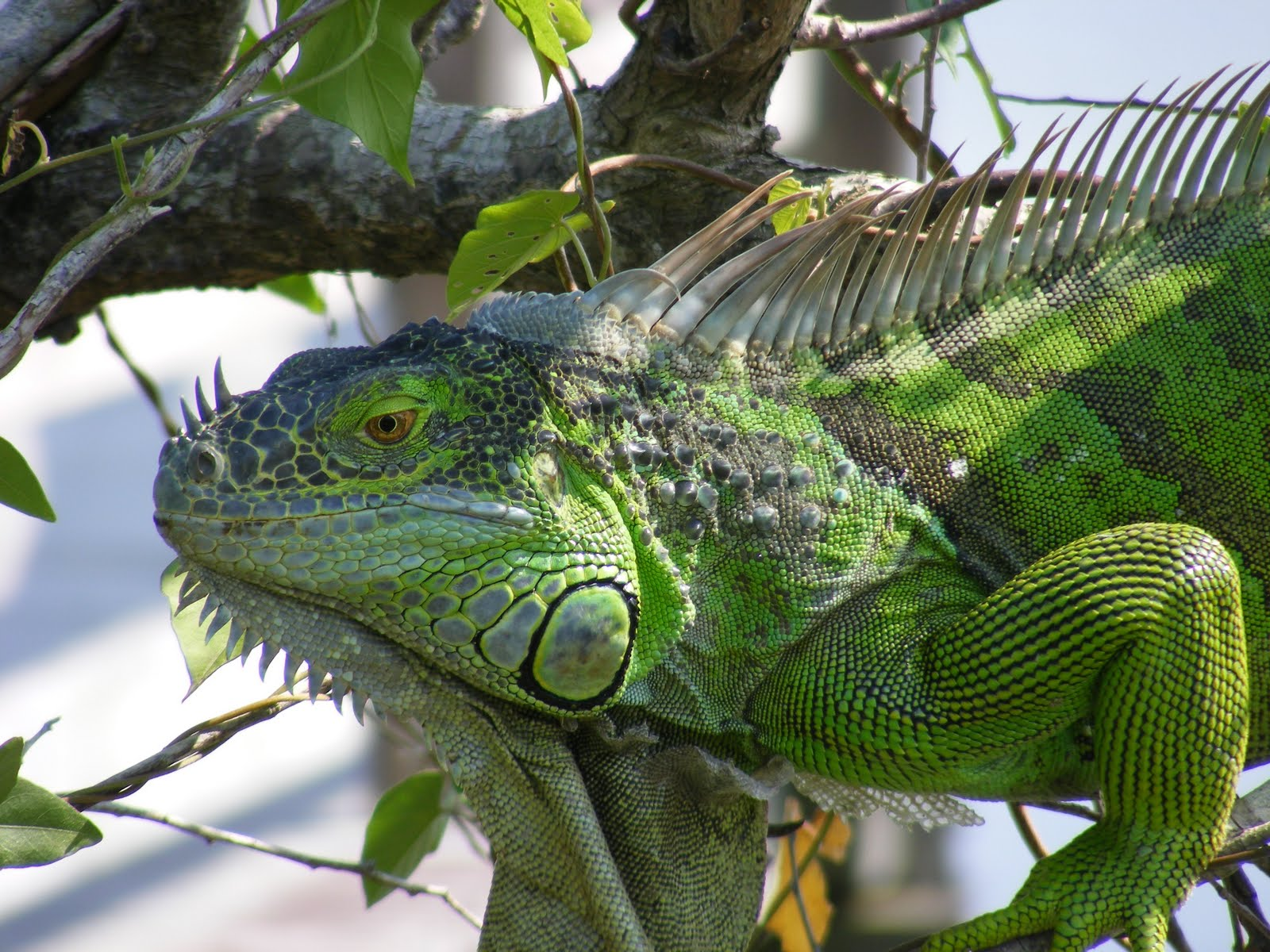 Foto Iguana