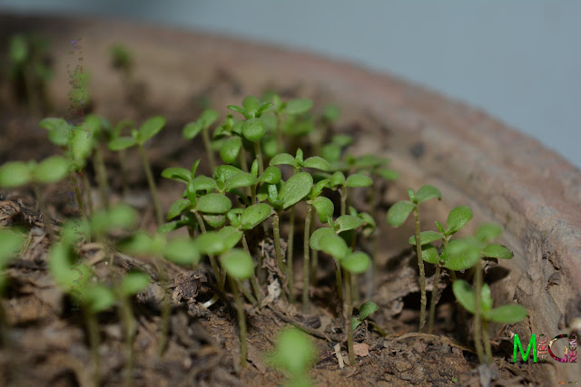 Metro Greens: The newly germinated marguerite daisy seedlings - at 10 days from sowing the seeds.