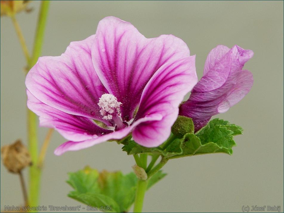 Malva sylvestris 'Braveheart' - Ślaz dziki 'Braveheart'  kwiat