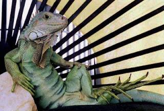 Iguana lizards