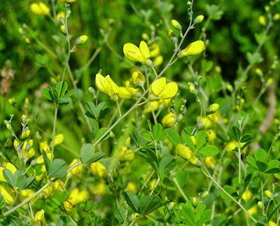 Wild Indigo (Baptisia Tinctoria) Overview, Health Benefits, Side effects
