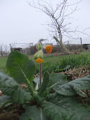 Orange Cowslip 2012/m5