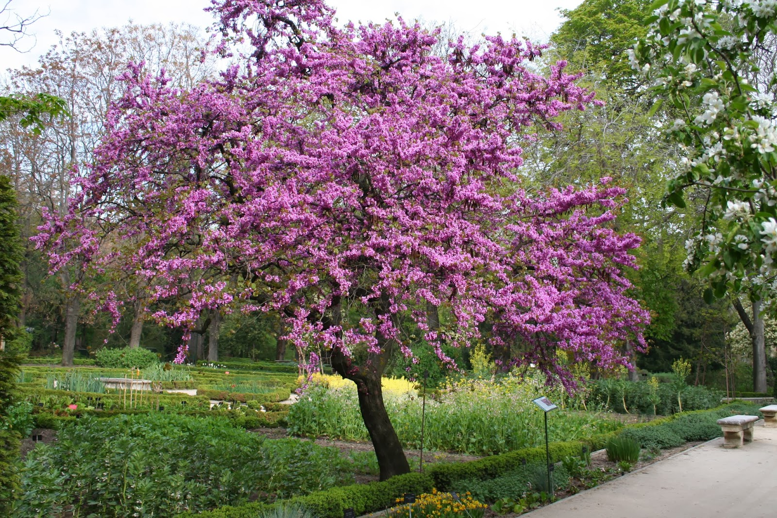 Sendas naturalez rboles de el viso del alcor for Arboles bonitos de jardin