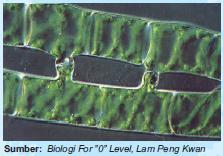 Struktur Kloroplas Spirogyra