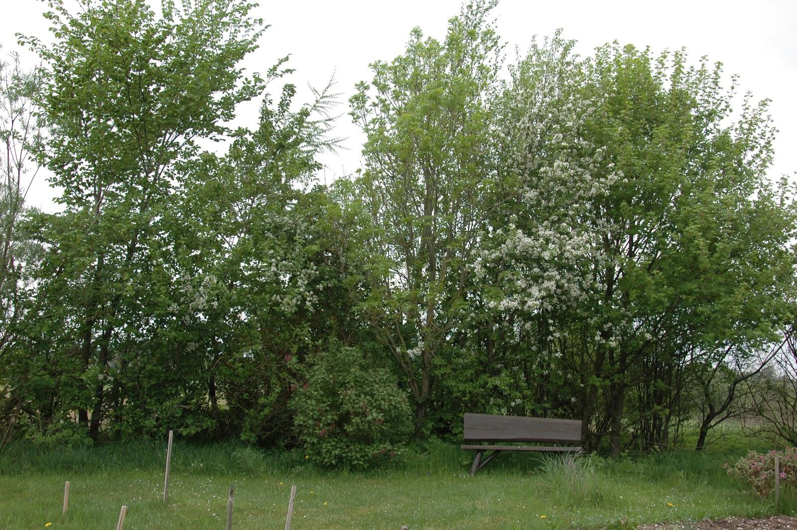 træ med fine hvide blomster