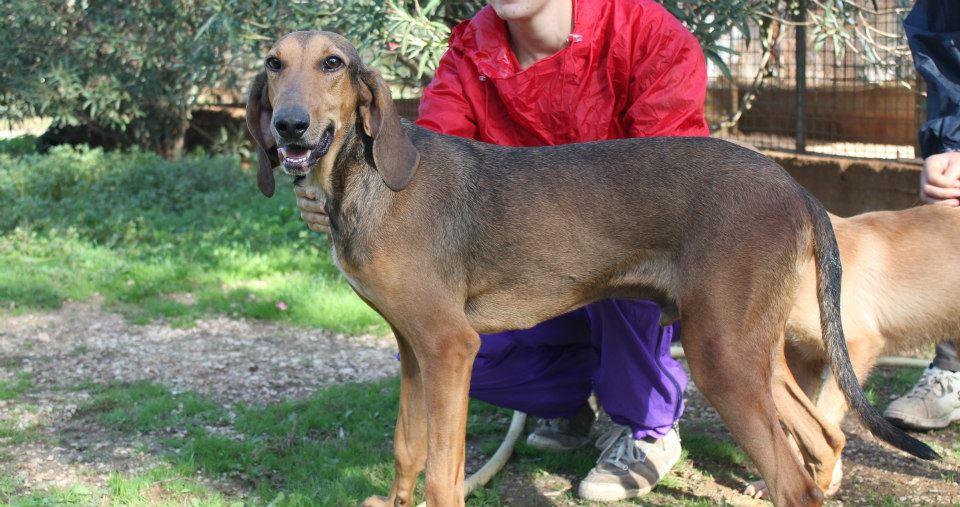 Annuncicanilecce cani da caccia da adottare for Cani giocherelloni