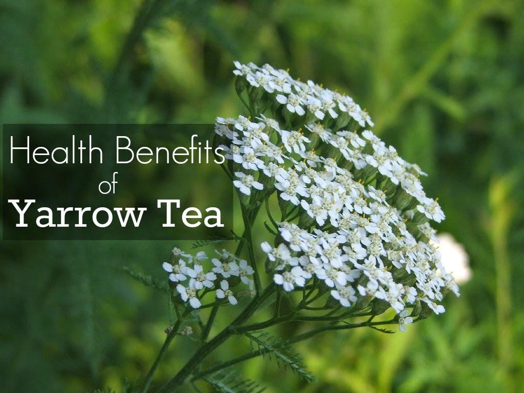 yarrow tea benefits healthy tea 101