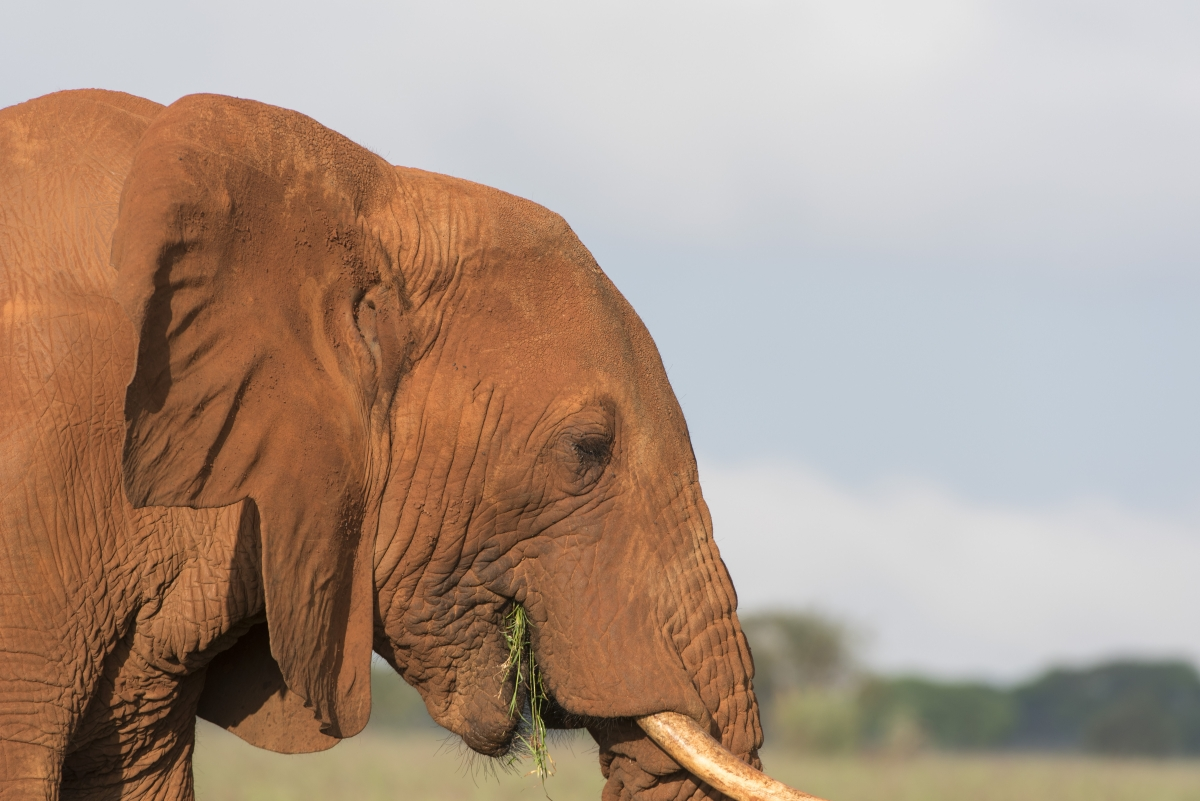 Elefanten, Elephants, kenya, kenia, Lumo, Tsavo, Safari
