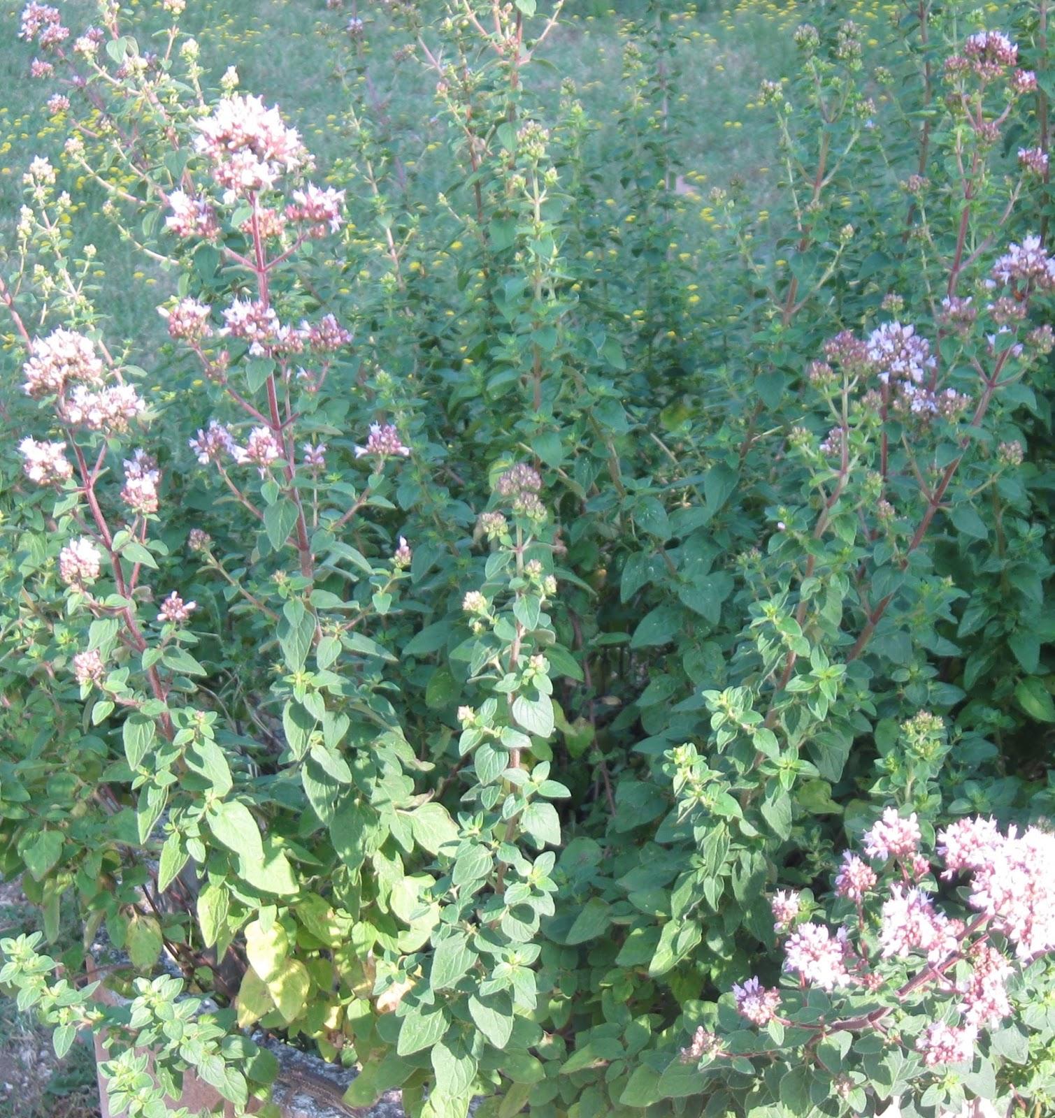 LA GRANJA DE ADRIANA: hierbas aromáticas y especias en cocina