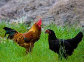 Ayam pedaging