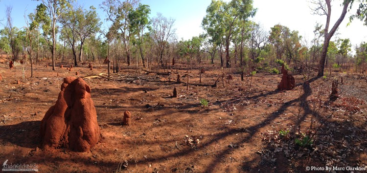mosaic burning marc gardner hooded parrot jadewelchbirds jade welch pine creek northern territory