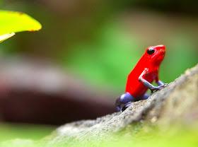 poison-arrow-frog
