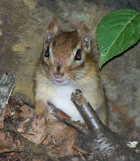 Revisiting Old Friends: Eastern Chipmunk (Tamias striatus)