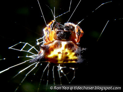 Hasselt's Spiny Spider (Gasteracantha hasseltii)