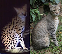 Serval or Koofi the cat?