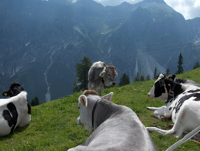 Cows in the Alps in Austria