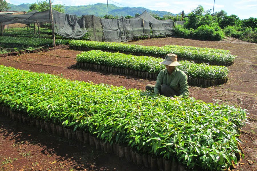 Gia Lai: Cây giống vào mùa ươm