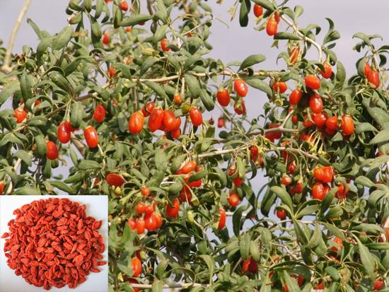 Lycium barbarum L. (Fam. Solanaceae)