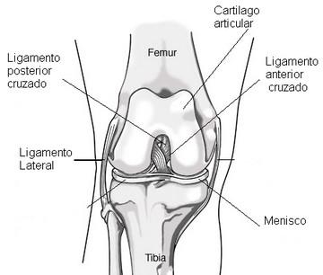 Dibujo de la rodilla indicando sus ligamentos