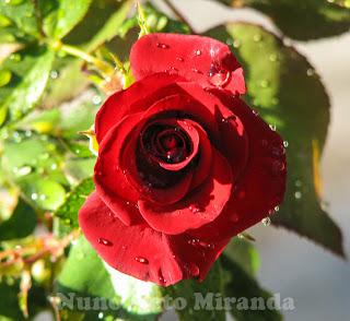 """alt=""""red rose, rosa vermelha, raindrops, gotas de chuva"""""""