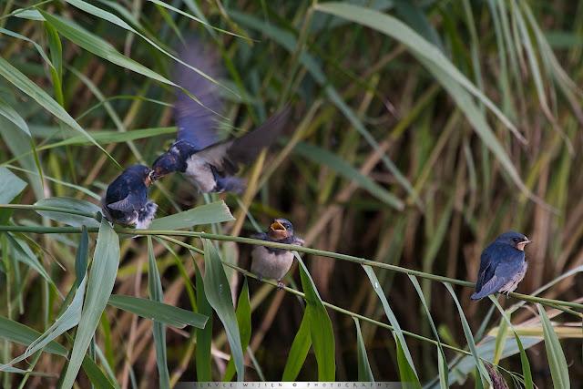 Boerenzwaluw voert zijn inmiddels volgroeide jong - Barnswallow feeding it's fullgrown chick