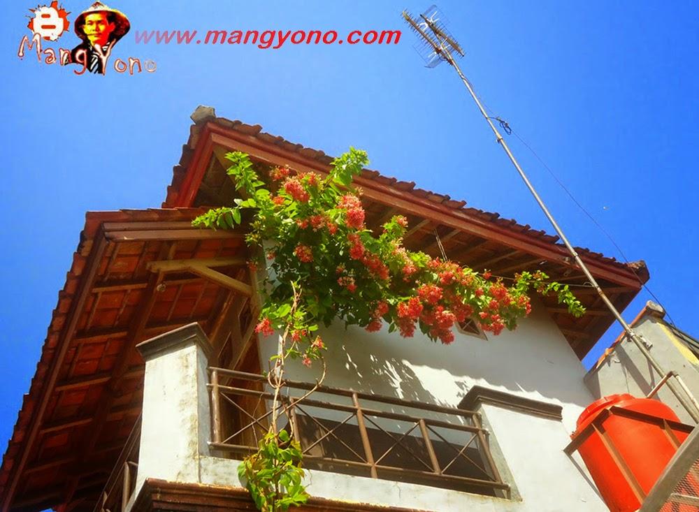 Bunga Melati Merah, Melati Belanda , Melati India, Jasmine sambac di rambatkan ke lantai dua Rumah saya