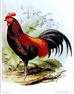 gambar ayam bekisar ilustrasi