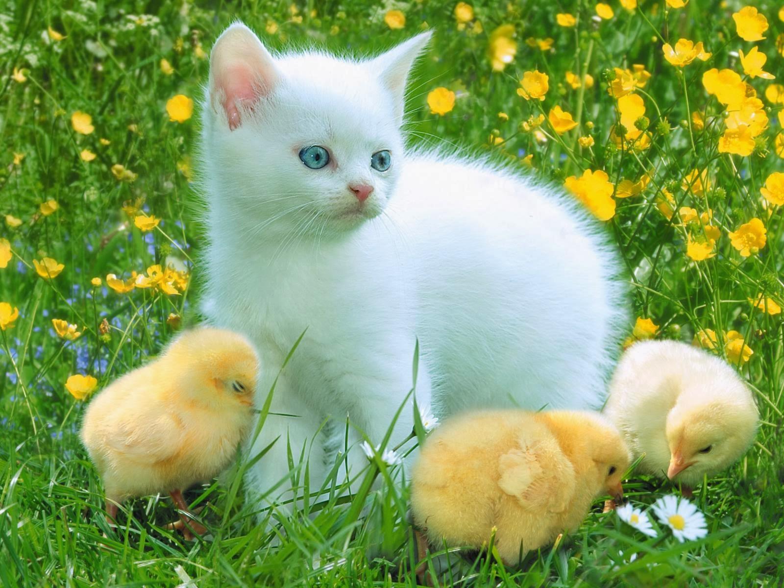Mèo và gà con