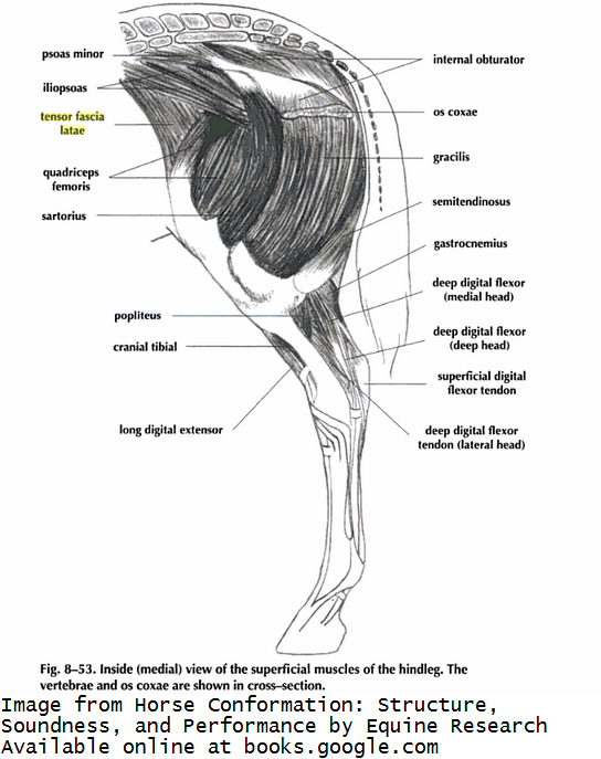 Tension in the Tensor Muscle | Straight From the Horse\'s Muscles