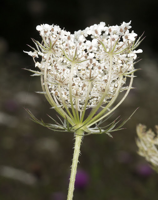Wild Carrot, Daucus carota ssp carota, in the Conservation Field in High Elms Country Park, 22 August 2011.