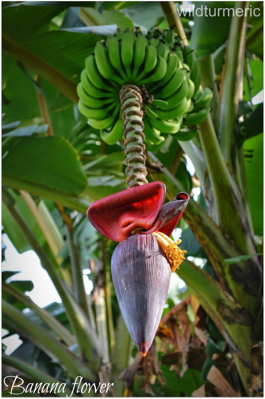 5 Best Health Benefits Of Banana Flower Banana Blossom