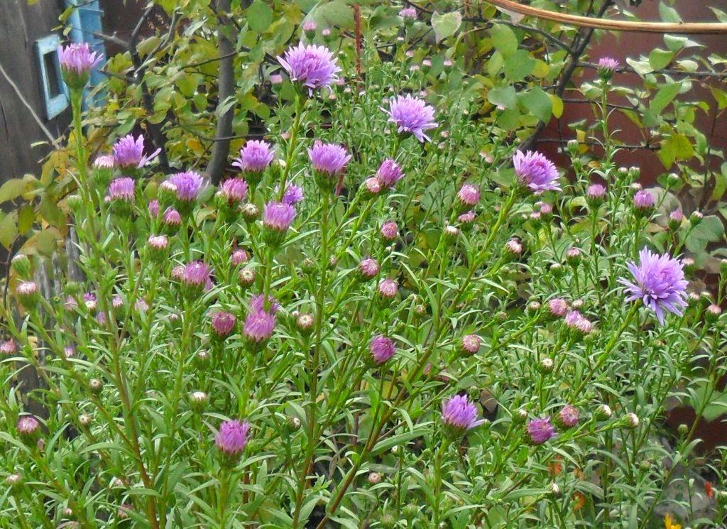 Цветы сентябринки (астра Новобельгийская)