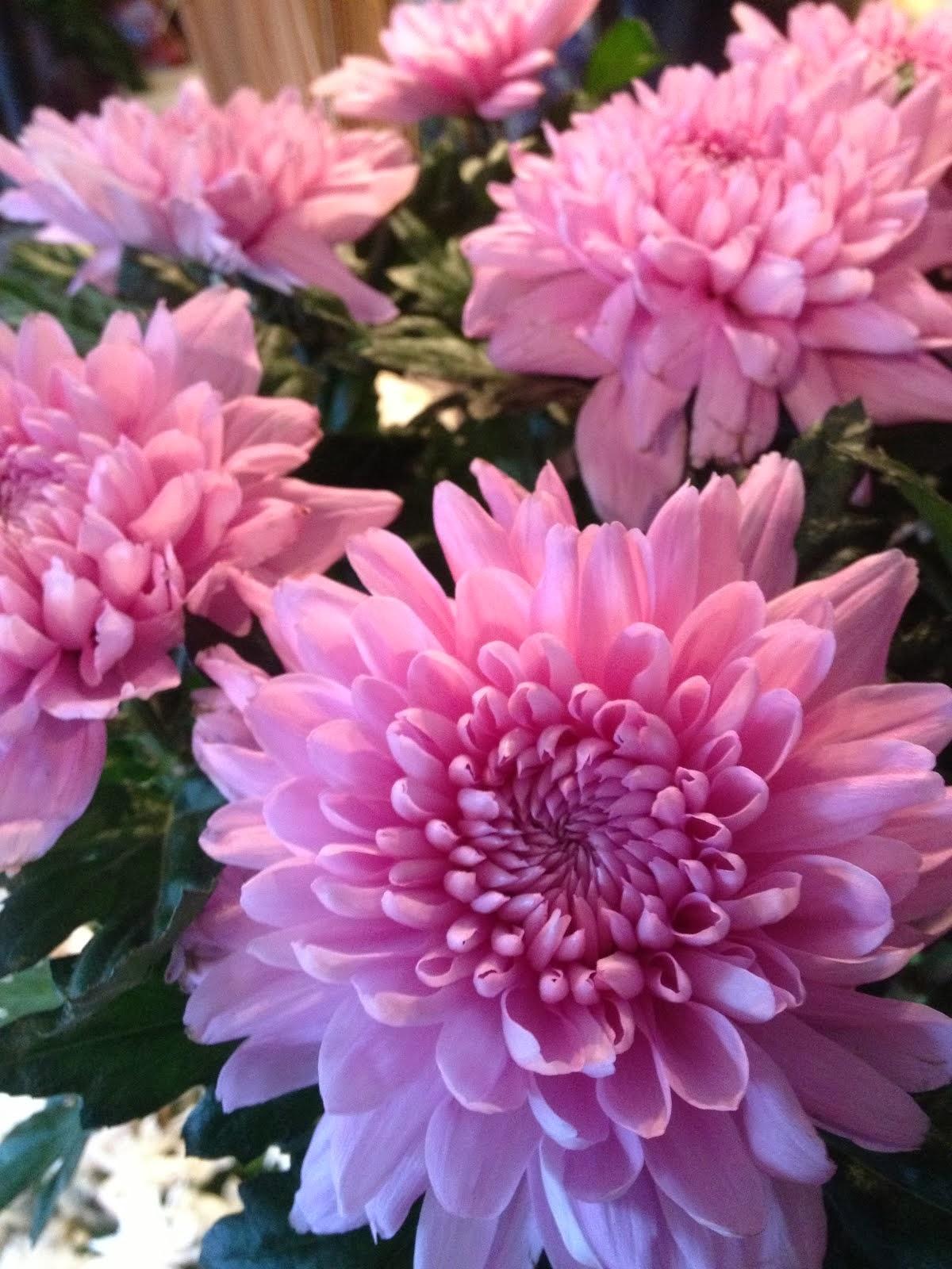 rosa deko chrys