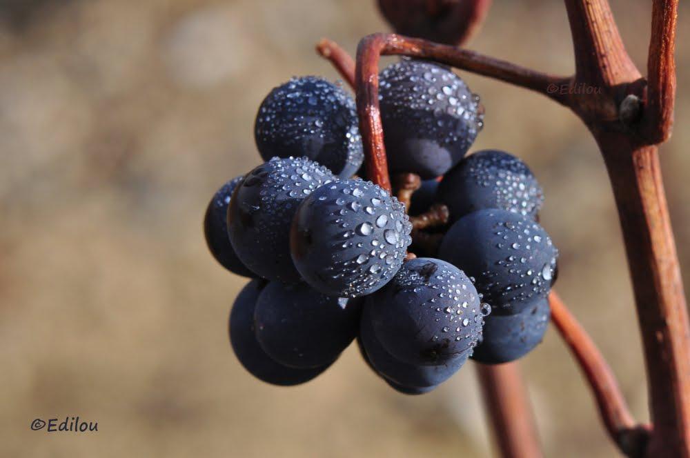verjus. Verjuice grape. Поздний виноград