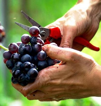 अंगूर से बिमारियों का इलाज