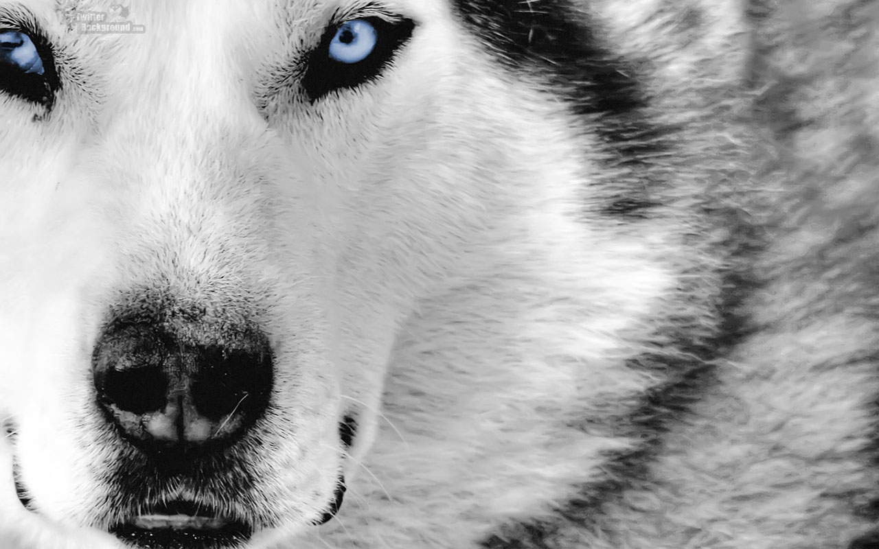 http://2.bp.blogspot.com/-Gr17IHHnJMk/UFVG1lGQnSI/AAAAAAAAAQM/jBtAwiHzoxg/s1600/Wolf.jpg