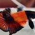 Jenis Ikan Hias Air Tawar  Akuarium