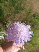 Field Scabious Knautia arvensis