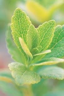 Stevia cutting