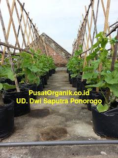 Melon Organik: Teknik Budidaya dan Cara Menanam dalam Polybag