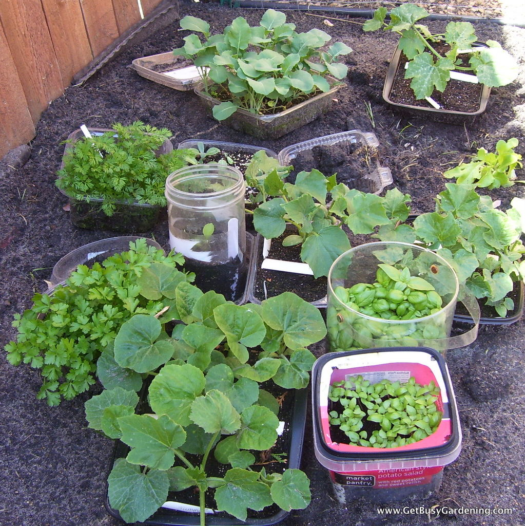 Winter sown seedlings ready to plant