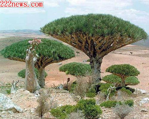 8000歲龍血樹1