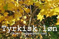 http://kolonihavelivet.blogspot.dk/2015/11/tyrkisk-ln-acer-cappadocicum.html
